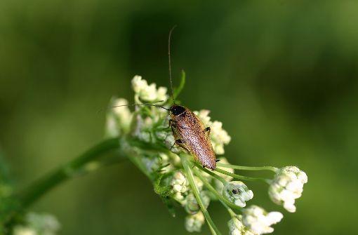 ungebetene insekten im haus bernsteinschaben beunruhigen. Black Bedroom Furniture Sets. Home Design Ideas