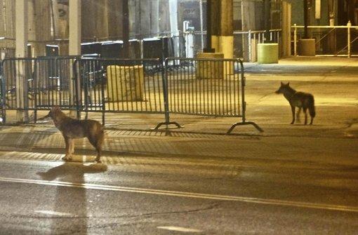 Kojoten, hier in Chicago, sind sich ein Leben lang treu. Foto: dapd