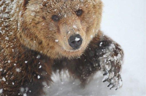 Der Wolf- und Bärenpark Bad Rippoldsau im Winter