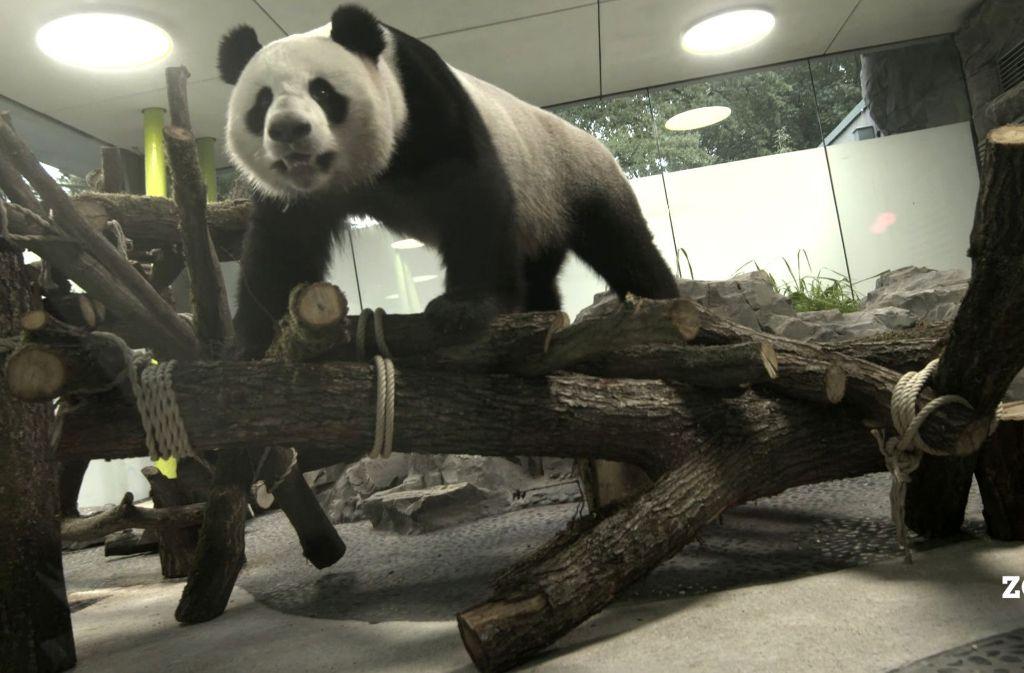 Neue Attraktion Im Zoo Berlin Ein Staatsakt Fur Die Pandas