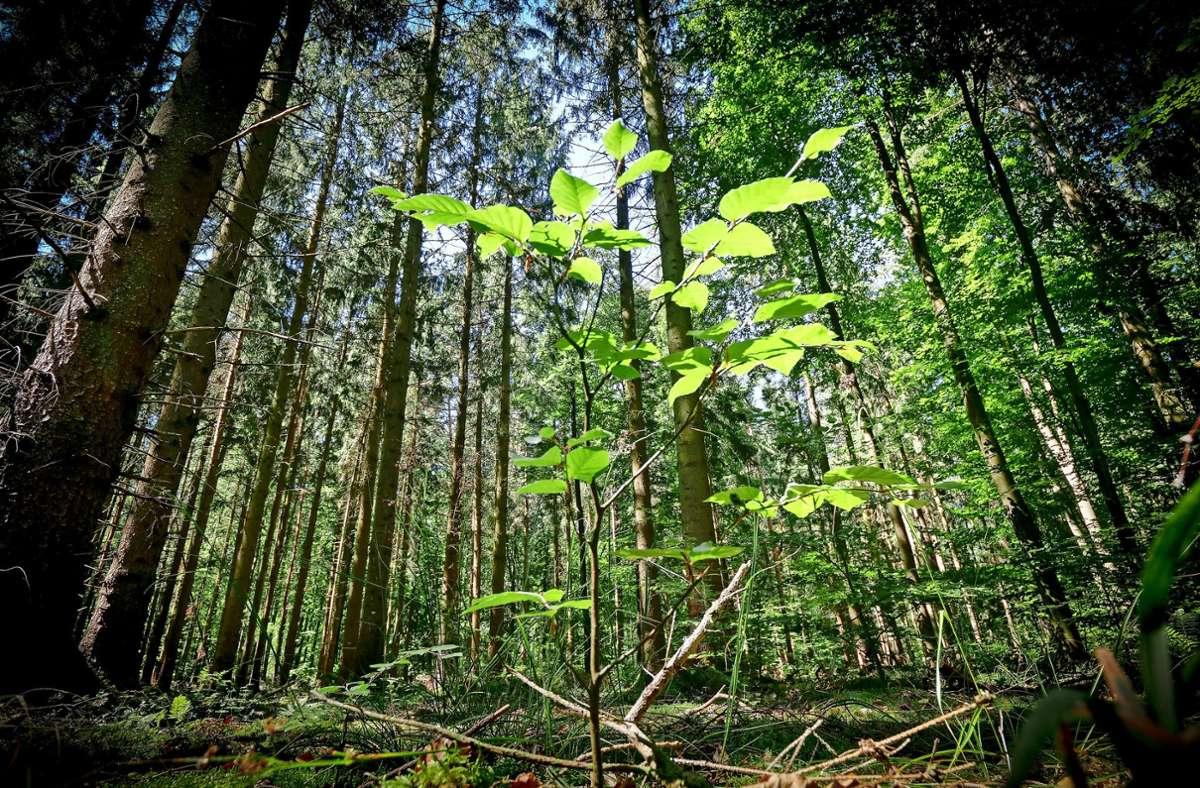 Buche und Co. im Strohgäu: Mein Freund der Baum hat Durst