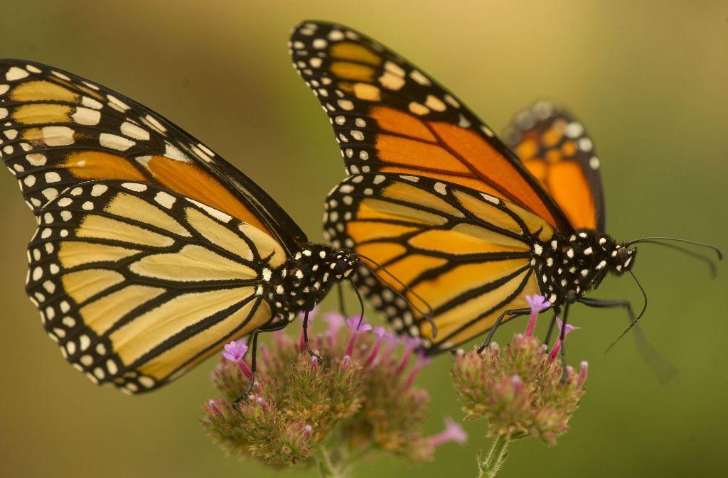 Schmetterlinge Mit Zerfetzten Flügeln Nach Afrika