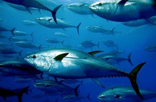Eine wichtige Grundlage von Sushi: Blauflossenthunfische Foto: dpa