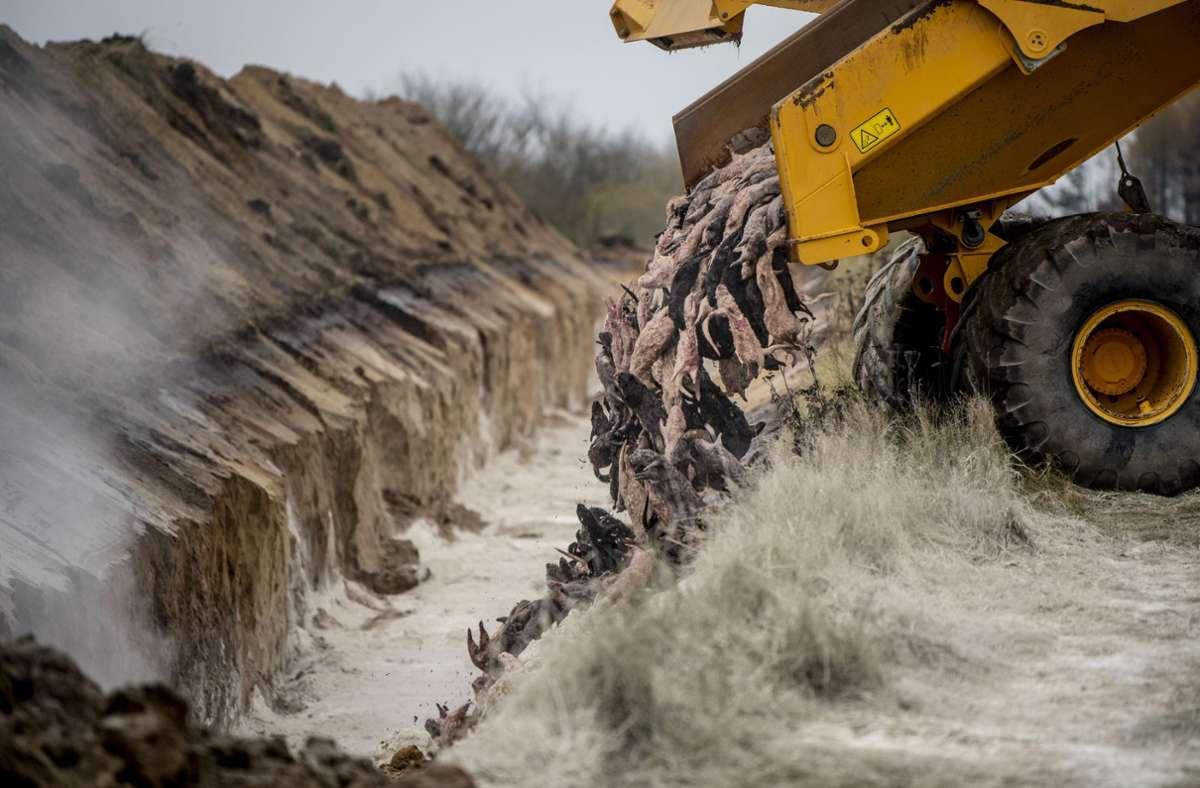 Gefahr-f-r-d-nisches-Trinkwasser-Leichen-gekeulter-Nerze-k-nnten-wieder-ausgegraben-werden