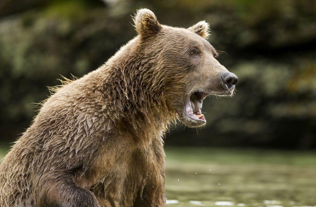 Bären-Attacke im Video: Russe überlebt wilden Angriff von Raubtier