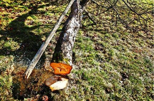 Baumfällung auf die überraschende Art
