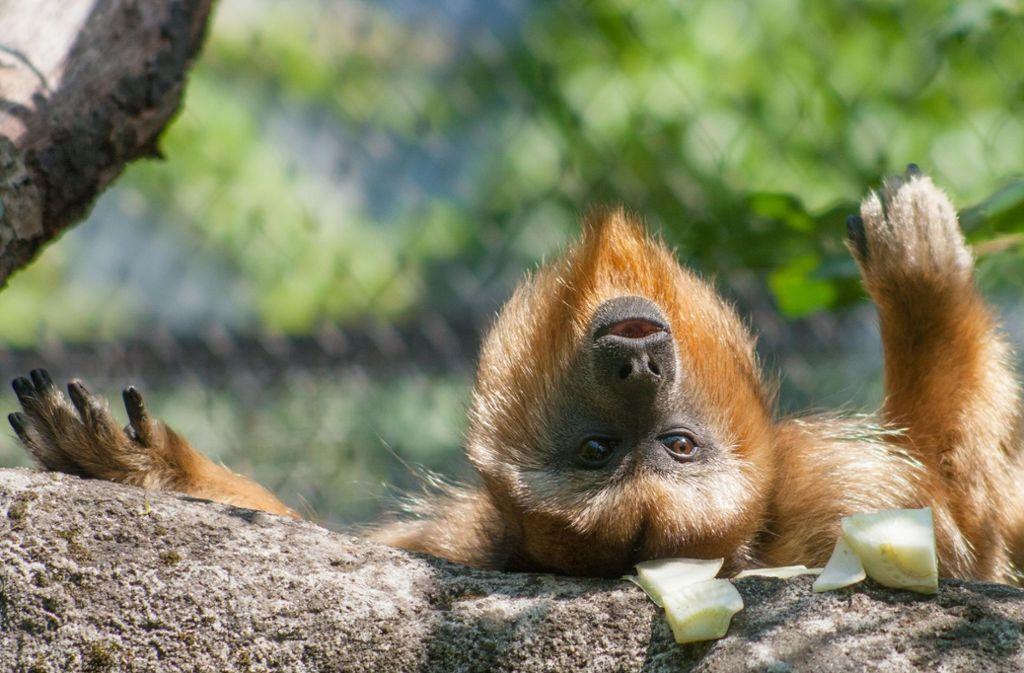 wilhelma stuttgart zoo hofft auf baby br llaffen stuttgart stuttgarter zeitung. Black Bedroom Furniture Sets. Home Design Ideas