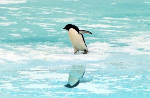 Ein Adeliepinguin auf dem Weg ins kalte antarktische Wasser Foto: dpa