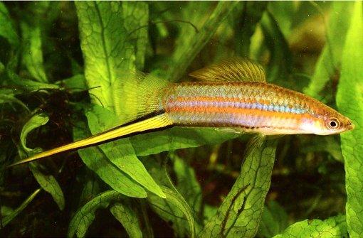 Der Fisch Xiphophorus clemenciae will mit seinem Schwert, der verlängerten Flosse, Weibchen beeindrucken. Foto: Manfred Schartl/Uni Würzburg