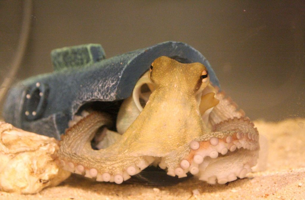 Oktopus gehirn