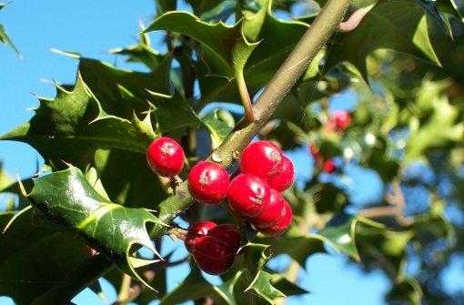 Ledrige Blätter, rote Frucht: Ilex aquifolium ist der Fachbegriff der Stechpalme. Foto: Archiv