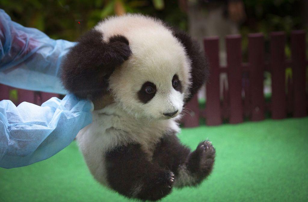 zoo in malaysia panda baby zeigt sich zum ersten mal der ffentlichkeit panorama. Black Bedroom Furniture Sets. Home Design Ideas