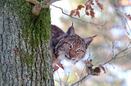 Wanted: der Luchs im Naturparkzentrum Murrhardt