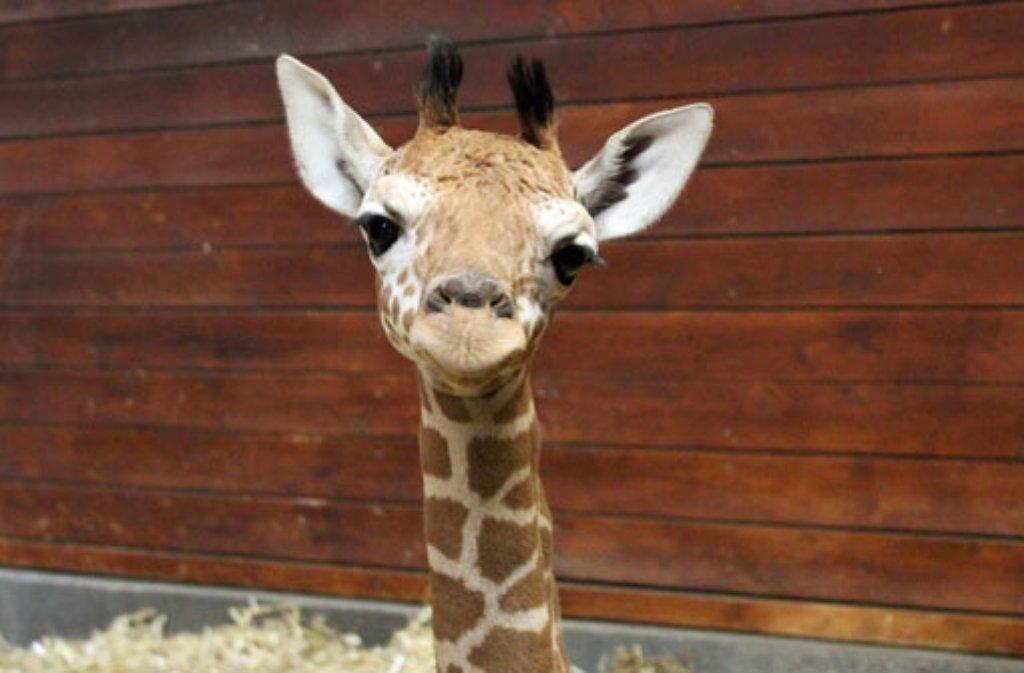 wilhelma in stuttgart sturzgeburt eines giraffenbabys stuttgart stuttgarter zeitung. Black Bedroom Furniture Sets. Home Design Ideas