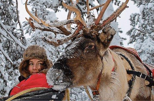 Darf ich mich vorstellen? Mein Name ist Elch. Am liebsten bleibe ich stehen, schlecke Schnee und glotze die Touristen an.  Foto: Diemar