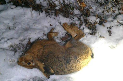 21.1.: Wilderer tötet Hase