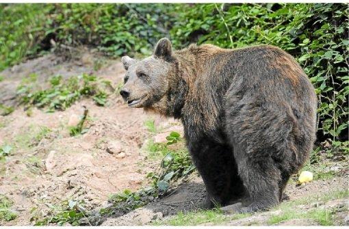 Wolf, Luchs und Bär beobachten im Alternativen Wolf- und Bärenpark Schwarzwald
