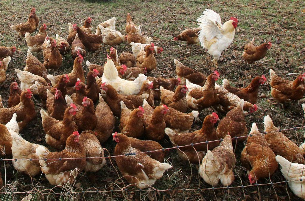 quality design 4babd e0be1 Vogelgrippe: Hühner, Gänse, Puten müssen drinnen bleiben ...