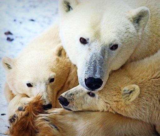 Den Eisbären geht es schlecht