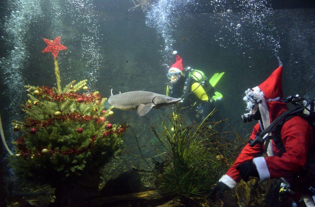 Weihnachtsdeko Aquarium.Christbaum Unter Wasser Weihnachtstaucher Schmücken Ulmer Aquarium