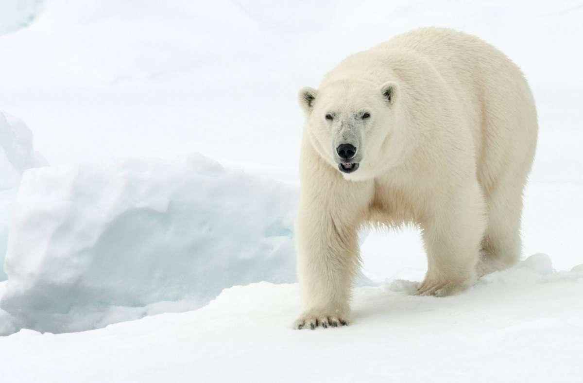 Eisbär Esslingen