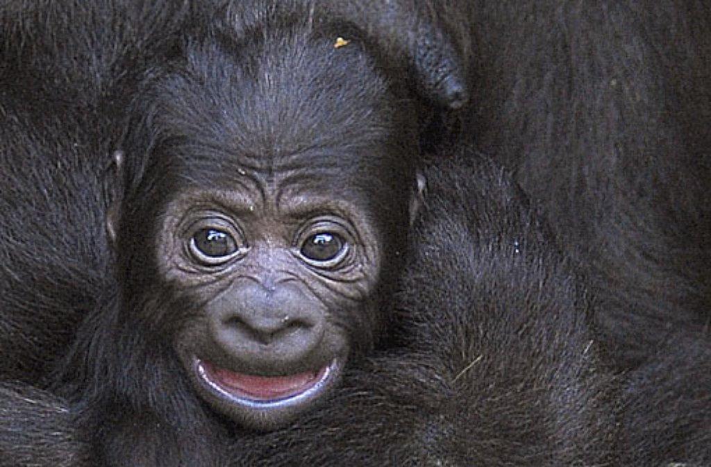 Gorillababys
