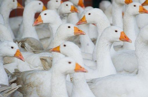 Test bei Enten und Gänsen