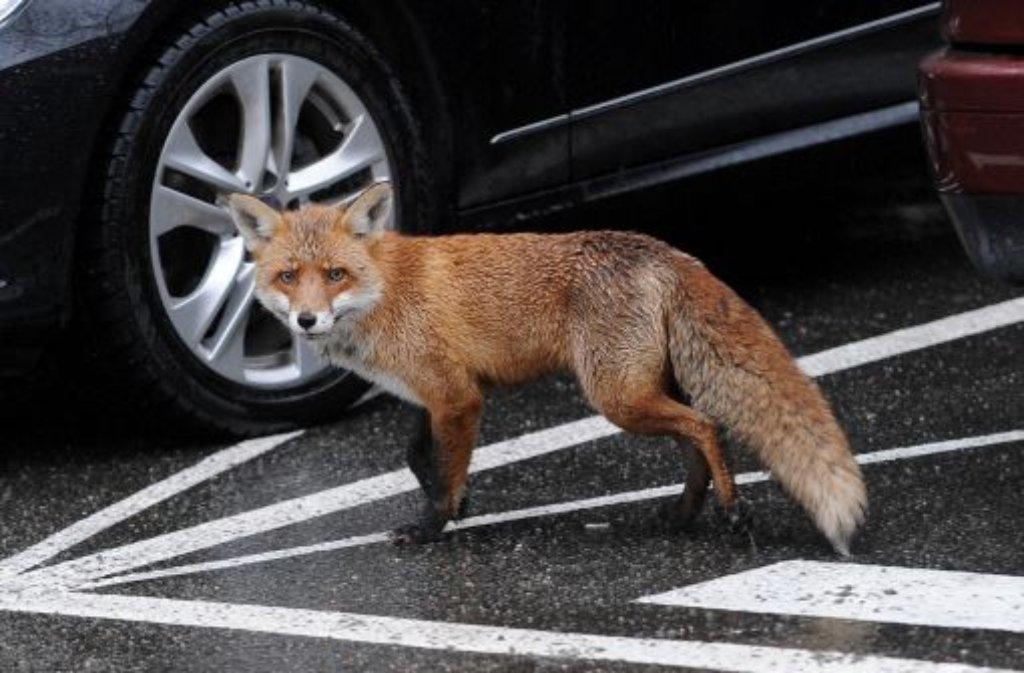 Wildtiere Im Garten Was Tun Wenn Fuchs Und Marder Zu Ungebetenen