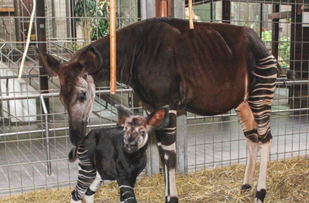 Wilhelma In Stuttgart Okapi Kuh Ibina Bringt Kalb Zur Welt
